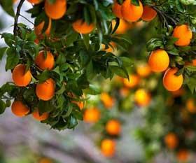 abxaziya-mandarinyblok